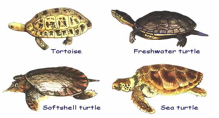 ... turtle species, five softshell species, and five sea turtle species